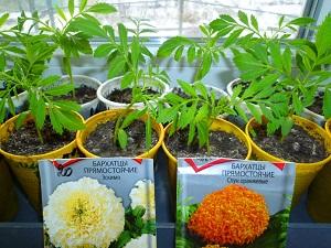 бархатцы посев семян на рассаду