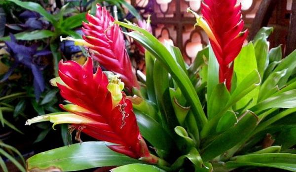 вриезия цветение