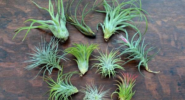 цветок тилландсия анита уход в домашних условиях