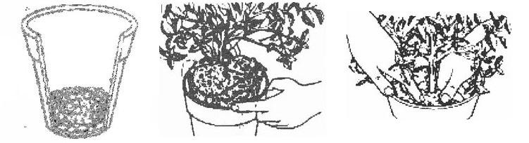 бугенвиллия комнатная