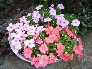 бальзамин садовый посадка и уход