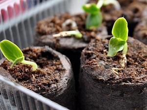 арктотис выращивание из семян когда сажать