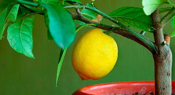 лимон из косточи будет плодоносить без прививки