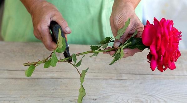 вырастить розы из букета в домашних условиях