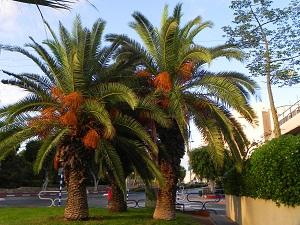 финиковая пальма фото