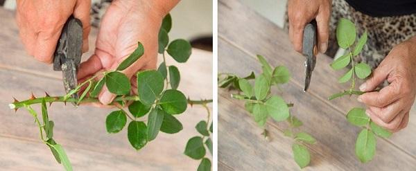как вырастить розу из букета в домашних