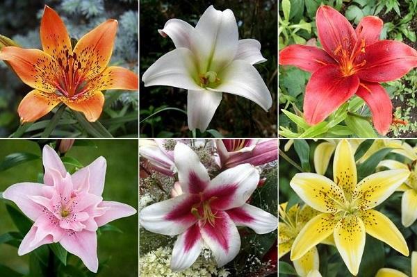лилия значение цветка