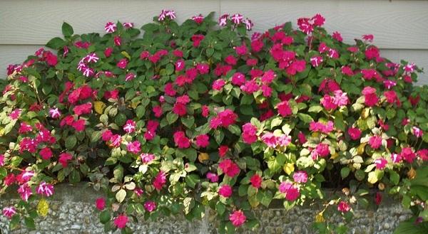бальзамин садовый выращивание