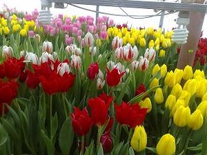 выгонка тюльпанов в теплице к 8 марта