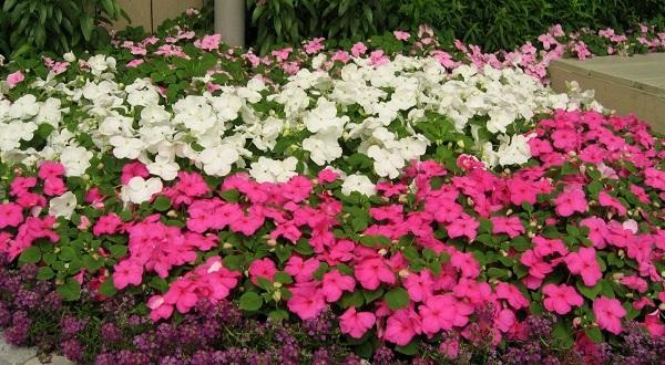 цветок бальзамин садовый