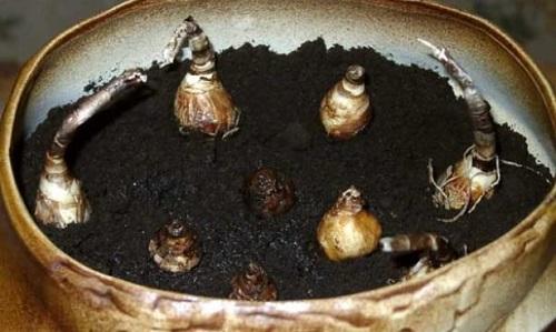 зефирантес размножение
