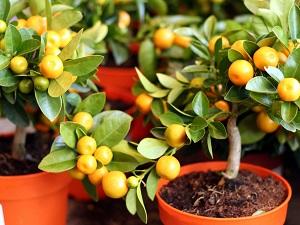 как прорастить косточку мандарина в домашних условиях