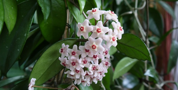 цветок хойя фото