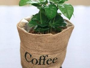 родина кофейного дерева