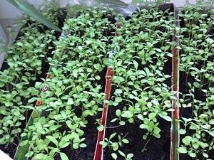 лобулярия выращивание из семян в домашних условиях