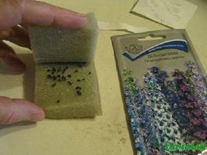 стратификация семян аквилегии в домашних условиях