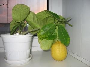 выращивание лимонов в домашних условиях из косточки