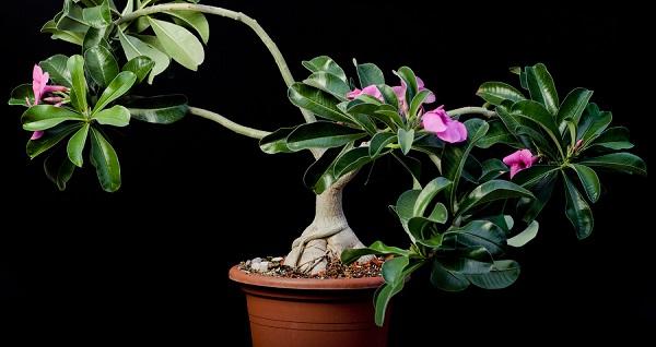 адениумы из семян выращивание
