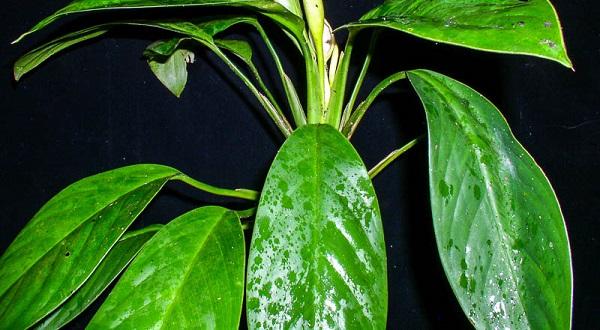 цветок аглаонема фото