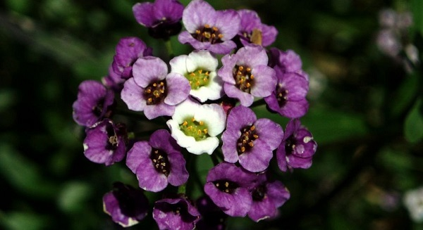 лобулярия фото цветов