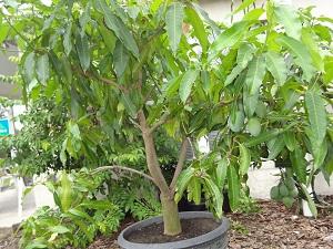 как вырасти манго из косточки дома