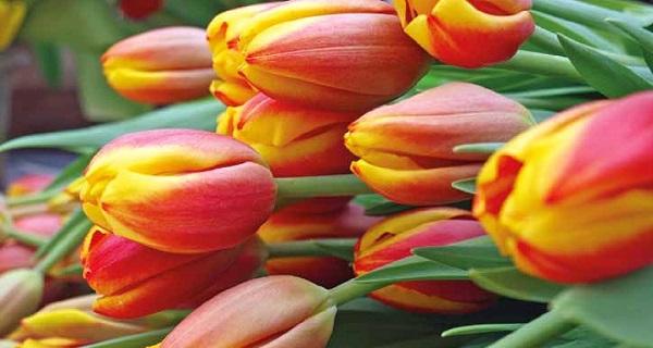 выгонка тюльпанов в домашних