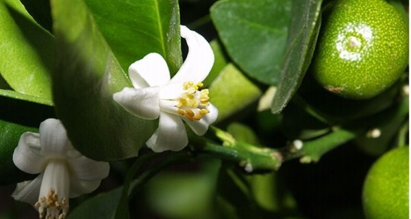 как посадить мандарин из косточки