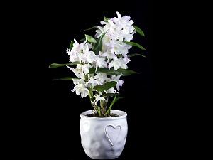 виды орхидей дендробиум