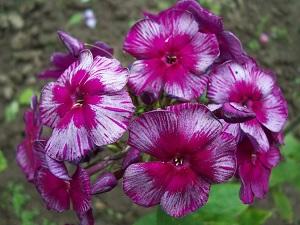 цветы флоксы многолетние посадка и уход