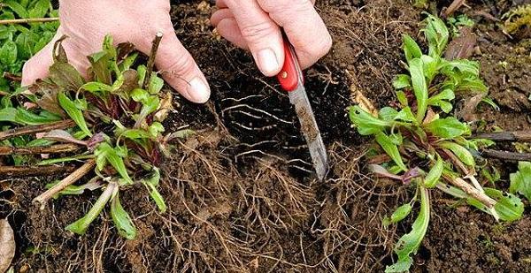 астра многолетняя альпийская смесь выращивание из семян