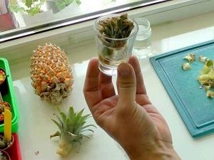 как вырастить ананас в домашних
