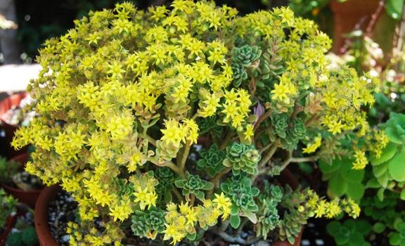 цветок любви аихризон
