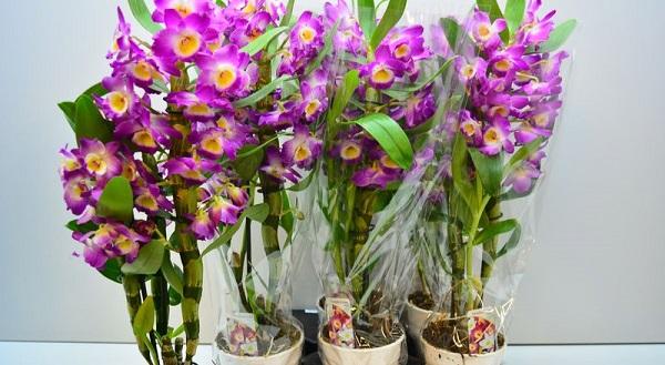 орхидеи виды фото и названия дендробиум
