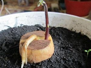 авокадо выращивание в домашних условиях из косточки