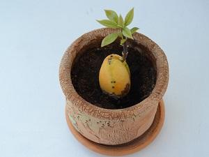 как прорастить косточку авокадо в домашних условиях