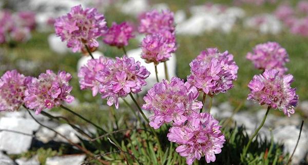 армерия приморская травянистые растения для открытого грунта