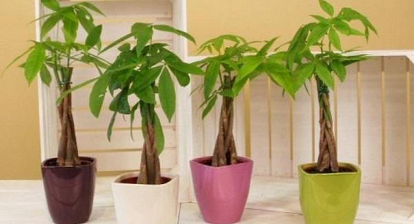 пахира растение
