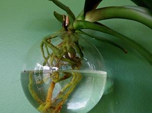 орхидея ванда купить