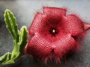 стапелия растение