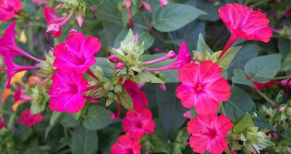 цветы мирабилис посадка и уход фото