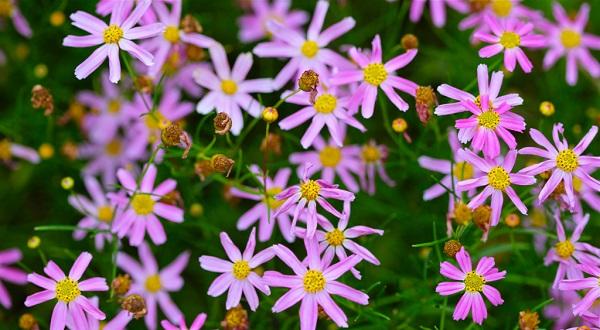 цветок кореопсис фото