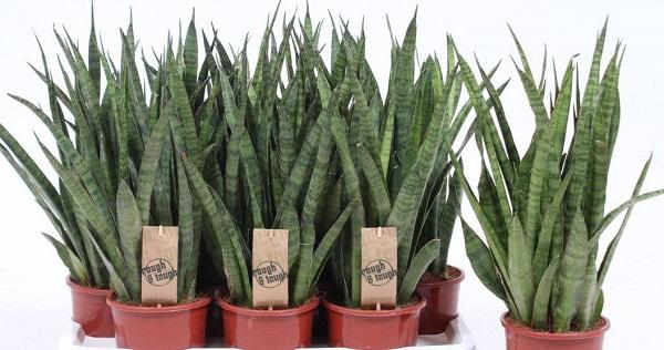 растение сансевиерия