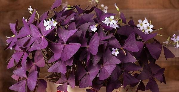 цветок оксалис фото