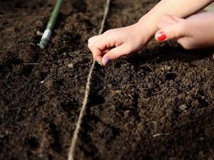 посев портулака на рассаду
