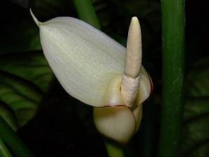 алоказия комнатные растения