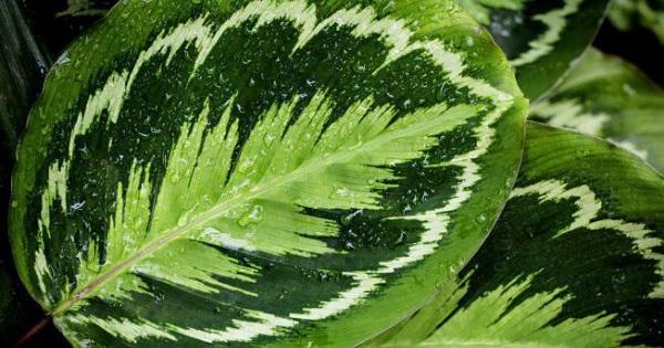 калатея сандериана