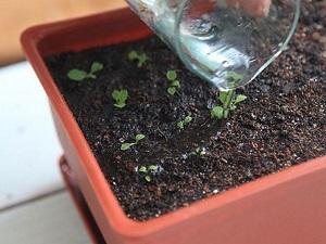 энотера миссурийская ночная свеча выращивание из семян