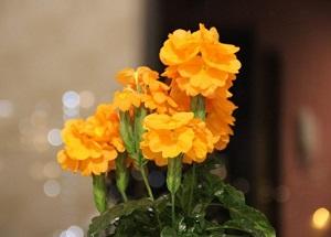 кроссандра оранжевая