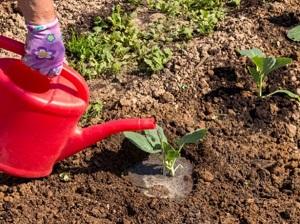 как сажать декоративную капусту