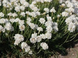 армерия цветок